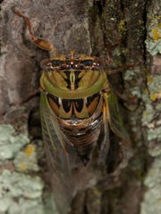 "A ""dog-day harvest fly,"" also known as dog-day cicada, hatches out of its former skin and begins to climb a tree in late summer."