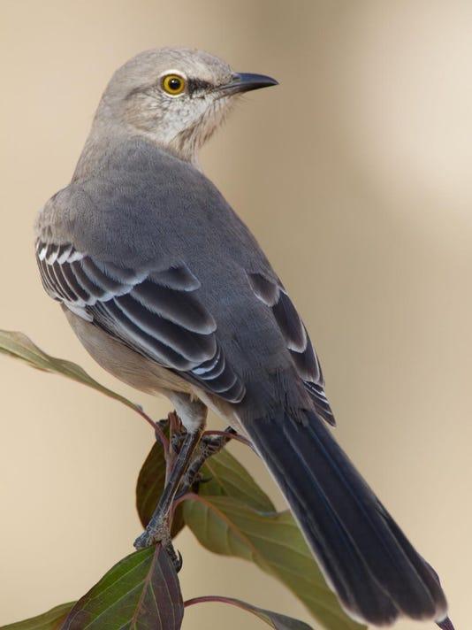 Critter Of The Week Mockingbird