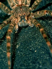 Biologist Don Blegen provided this extreme closeup of a fishing spider.