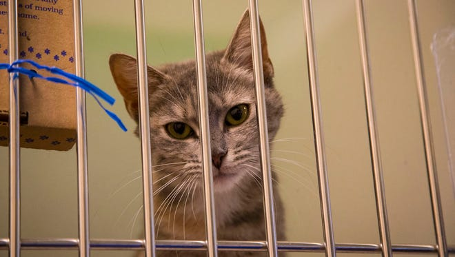 Kitten up for adoption at the Animal Rescue League of Iowa in 2014.