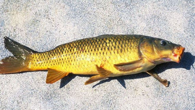 MDC is proposing regulations that would expand personal and commercial use of common carp (shown) and grass carp.
