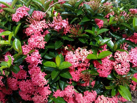 Ixora Nora Grant has large, salmon pink flowers and glossy green leaves.