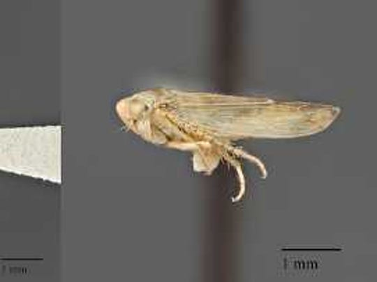 Beet leafhopper, the insect vector of the beet curly top virus.