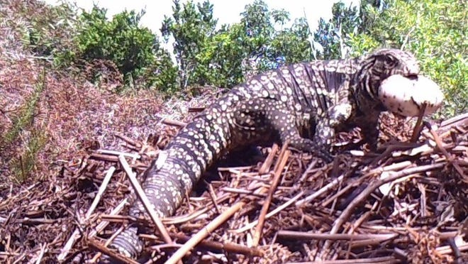 A black and white tegu lizard is seen by a trail camera with an alligator egg in its mouth.