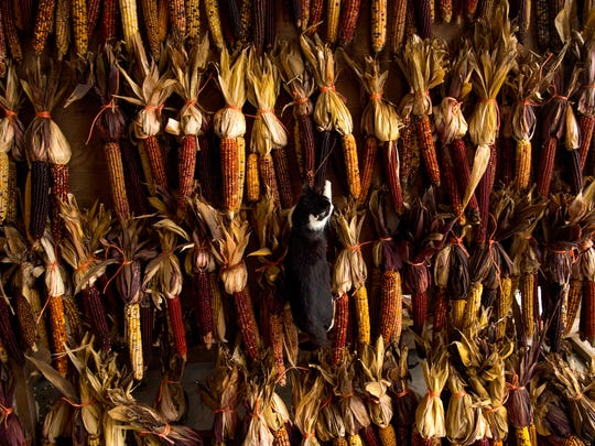 One of four young cats that have made themselves at home at Goebel Farms hangs from a display of ornamental corn after leaping into it Wednesday morning.
