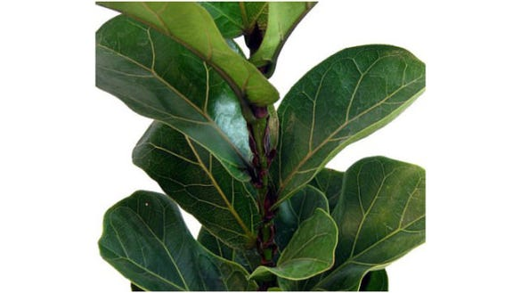Walmart-fiddleleaf-fig