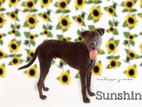 Sunshine - Male (neutered) Lab mix, adult. Intake date: 12/7/2017