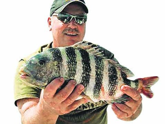 Tom Picha's 20-inch sheepshead was one of eight dandies he and his friends caught on shrimp last Wednesday, 20 miles west of New Pass on an offshore Fishbuster Charter.