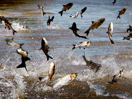 On May 10, 2011, jumping Asian Carp feed off the muck