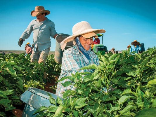Workers harvest chile on the 350-acre Adams Produce farm near Hatch, New Mexico, on July 25.
