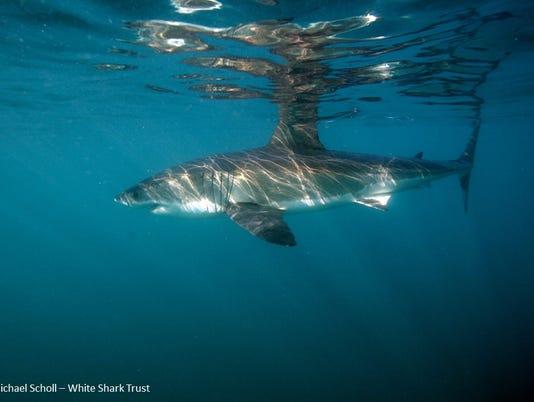 Great whtie shark