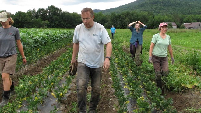 A team of volunteers called a crop mob move to another row after weeding root vegetables at Maple Wind Farm in Bolton on Thursday, Aug. 18, 2016. Volunteers gather periodically at Vermont farms to help with weeding and harvesting of vegetables as a way to help out farms and learn more about agriculture. The crop mob concept has taken off in other parts of the country.