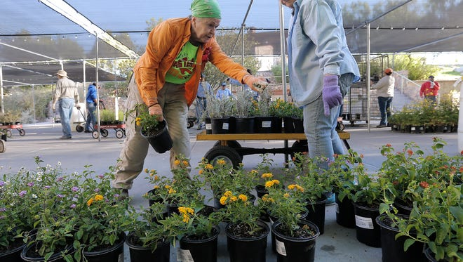 Barbara Bailey, left, and Donna Farmer arrange lantanas as they set up for this weekend's FloraFest at UTEP. The event runs Saturday and Sunday from 9 a.m. to 4 p.m.