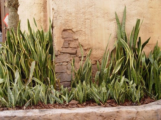 Unsung heroes of the succulent shade garden for Succulents that do well in shade
