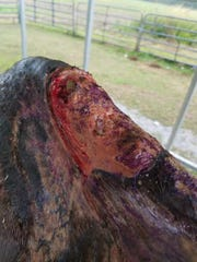 The former race horse Dr. Drip suffered and had to be euthanized.