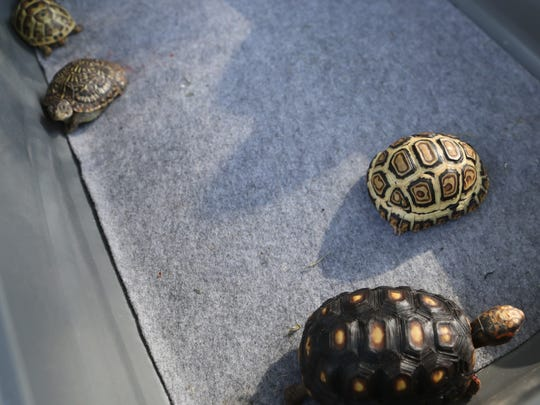 Baby tortoises and turtles are displayed Tuesday during an educational event celebrating World Turtle Day at Tortoise Acres Rescue & Sanctuary in Anderson.