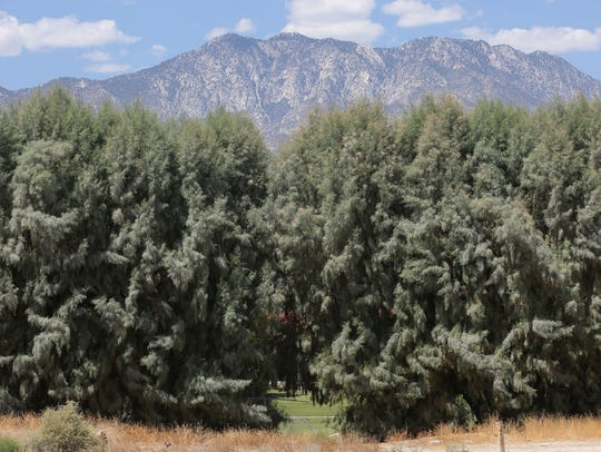 A row of tall tamarisk trees separates the Crossley