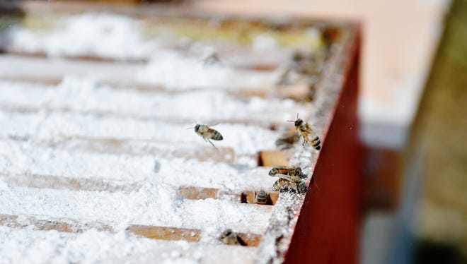 Bees emerge from a bee hive newly sprinkled with powdered sugar Sunday, April 2, 2017, at Jeremy Barnes' Meadowsong Farm Apiary in Springfield Township. A Harrisburg-area FIRST LEGO League team of students came to see whether powdered sugar would irritate varroa mites off a hive of honeybees and yield a mite count on the hive's bottom board that they could detect with an infrared camera. The experiment was part of a STEM-driven challenge for which the students will go to St. Louis, Mo., at the end of the month.
