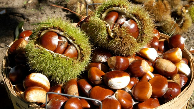 Courtesy photo European and Japanese-hybrid chestnuts.