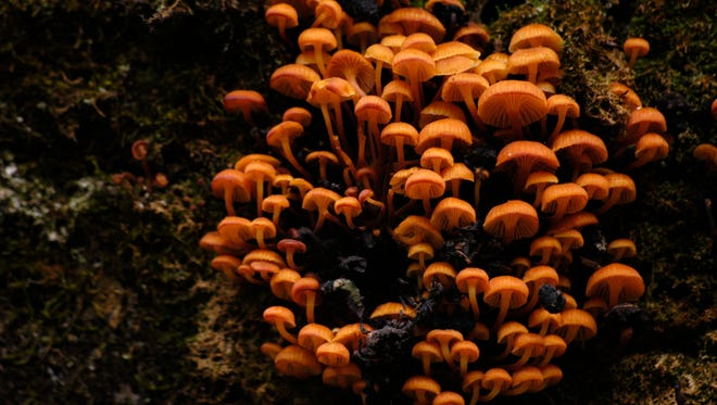 A cluster of mushrooms, possibly Orange Pinwheels, grows on a rotting log alongside the Rim Trail in the Lincoln National Forest near Cloudcroft. The fascinating nature of mushrooms and other fungi will be the topic of conversation during the Mushroom Cooking Demonstration April 13 in Skeen Hall.