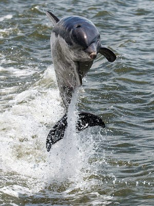 A bottlenose dolphin leaps out of Estero Bay recently during a cruise led by Good Time Charters Dolphin Cruises.