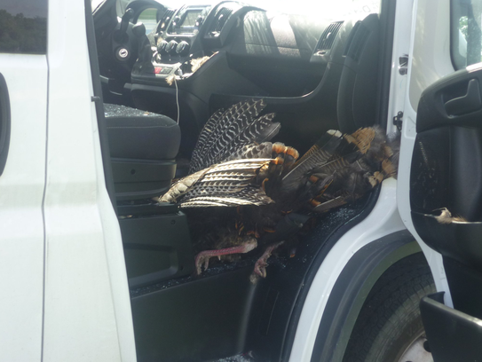 After the crash the turkey was caught within the a