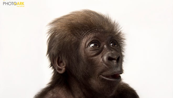 "The traveling ""National Geographic Photo Ark"" exhibition (natgeophotoark.org) will be at the Cincinnati Zoo & Botanical Garden from May 19 through Aug. 20. This photo is of Gladys, a critically endangered western lowland gorilla at the Cincinnati Zoo. The photo was taken when she was six weeks old."