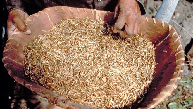 Harvested wild rice will lose about 60 percent of its weight in drying.
