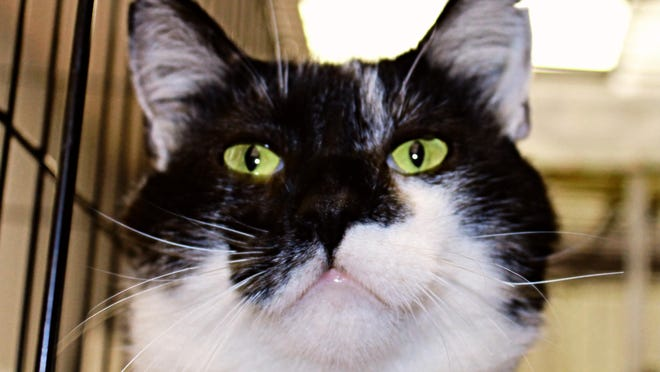 Finn, a 3-year-old tuxedo cat, is adoptable through PawsWatch at the Community Cat Care Center, in Johnston.
