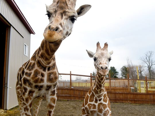 Oliver and his son Tajiri of Animal Adventure park in Harpursville. Tajiri is celebrating his first birthday on April 15.