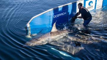 Great white shark Savannah pings off the coast of Cocoa Beach — on Memorial Day weekend