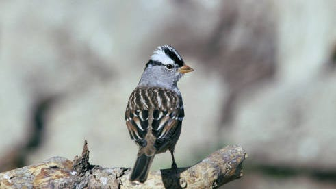 Jason Taylor spotted a pair of white-crowned sparrows like this one in a crabapple tree in New Paltz recently.