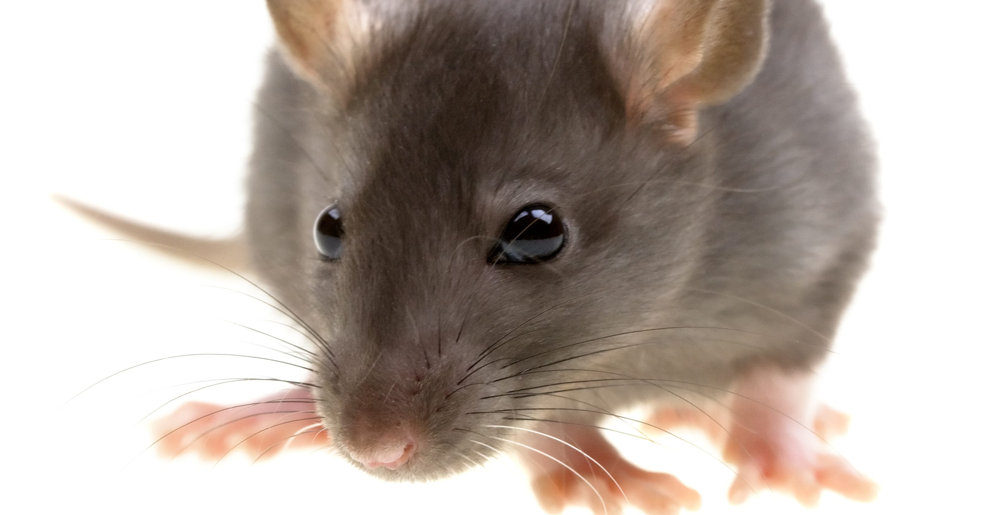 5 ways to get rid of rats in your yard without poison