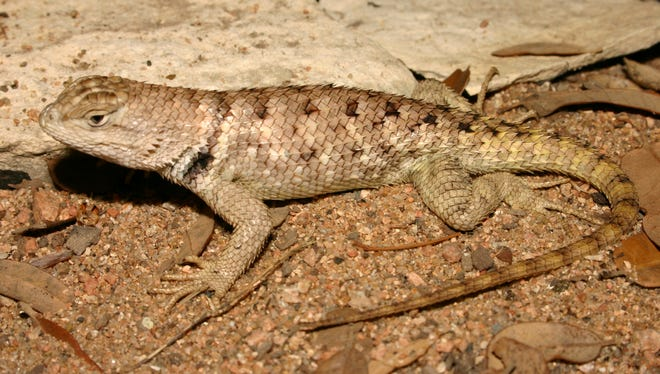 Twin-spotted Spiny Lizards are not strictly carnivorous. In addition to grasshoppers, wasps and beetles, they will eat flowers of dandelions and other plants when the availability of insect prey is compromised.