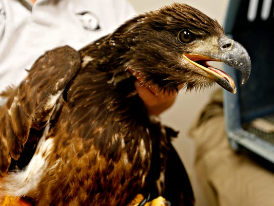 Rescued Eagle follow up