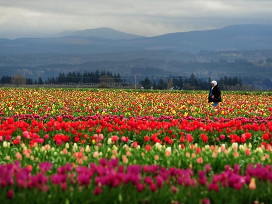 Dalal Murad, from Jordan, walks through the fields while visiting with her family during Tulip Fest at the Wooden Shoe Tulip Farm, on Sunday, March 22, 2015, in Woodburn.