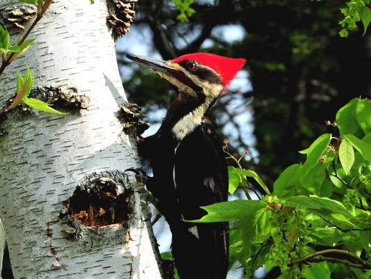 Pileated Woodpecker. Photo by David Johnson