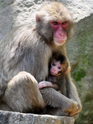A newborn baby monkey named Charlotte clings to her mother at Takasakiyama Natural Zoological Garden in Oita, southern Japan Friday, May 8, 2015.  Oita city officials settled a dayslong national debate over whether calling the monkey Charlotte offends its British royal namesake. The officials say they will stick to their first choice because there was no protest from Britain's royal family.