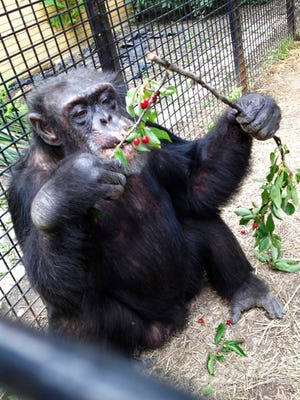 """In this July 2013 photo provided by the Primate Sanctuary, the chimpanzee Kiko eats wild cherries at the nonprofit Primate Sanctuary in Niagara Falls, N.Y. Kiko's keeper Carmen Presti, and his wife rescued the deaf chimp 23 years ago from a life of performing at state fairs and in the television movie """"Tarzan in Manhattan."""" Kiko, who has medical problems requiring constant attention, is at the center of a court effort Thursday, March 16, 2017, by attorney Steven Wise, who will try to persuade a New York appeals court that a chimpanzee should be treated as a person with legal rights, when he presents the case of Kiko and another chimp, arguing that they should be freed from cages to live in an outdoor sanctuary. But Presti said, """"If he's taken away, he could die without his family to give him the special care he needs, and to bring him into the house to play."""""""
