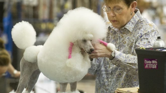 Nellie Doneva/Reporter-News Joann Neal grooms her miniature poodle during the Abilene Kennel Club dog show Friday, May 20, 2016, at the Taylor County Expo Center.