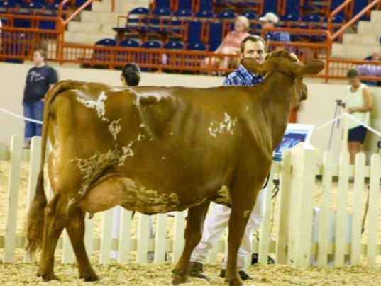 farm-show-cow.jpg