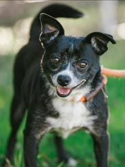 Kris, 7-year-old female Chihuahua. No. 96298.