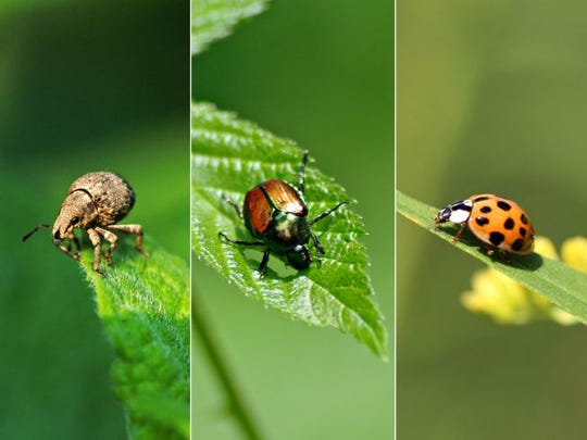 From left to right: two-banded Japanese weevil, Japanese