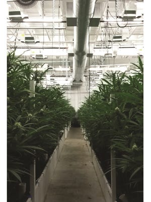 A medical marijuana growing room in an unspecified location outside New York.