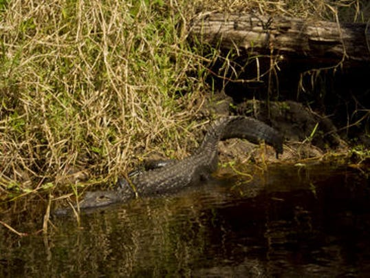 Caution southwest florida alligators are on the move for Global motors fort myers florida