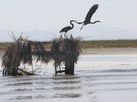 A pair of herons take flight from an old bird blind