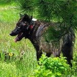 Taking wolves off the state Endangered Species list is discussion, not voting, topic at Oct. 9 commission meeting