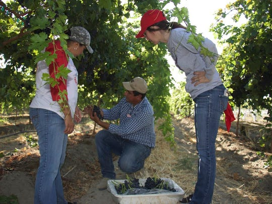 """On June 2, Superintendent Darryl Adams, along with several other district administrators walked in the shoes of migrant parents, spending the morning with them harvesting grapes in the fields in Mecca as part of the district's """"Walk in My Shoes"""" Initiative."""