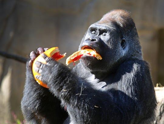 Jomo, a 25-year-old silverback at the Cincinnati Zoo