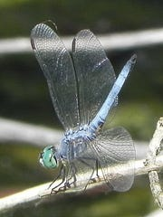 A blue dasher dragonfly rests for a moment at the Riparian